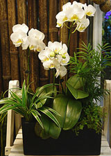 Butterfly Orchid Gifts